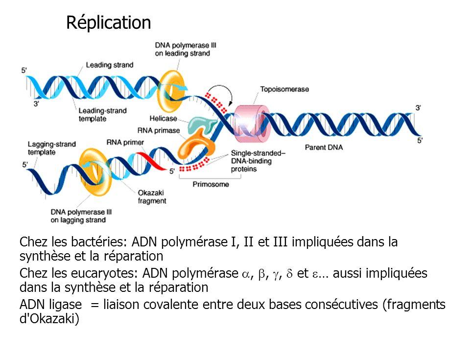 Réplication Chez les bactéries: ADN polymérase I, II et III impliquées dans la synthèse et la réparation Chez les eucaryotes: ADN polymérase,,, et … aussi impliquées dans la synthèse et la réparation ADN ligase = liaison covalente entre deux bases consécutives (fragments d Okazaki)