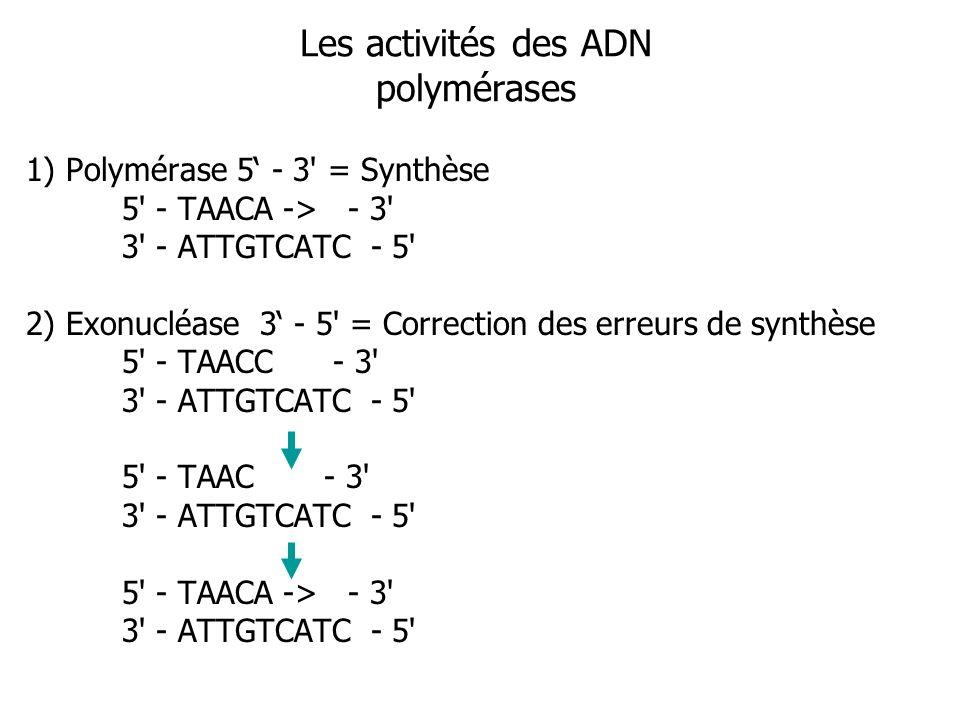 Les activités des ADN polymérases 1) Polymérase 5 - 3 = Synthèse 5 - TAACA -> - 3 3 - ATTGTCATC - 5 2) Exonucléase 3 - 5 = Correction des erreurs de synthèse 5 - TAACC - 3 3 - ATTGTCATC - 5 5 - TAAC - 3 3 - ATTGTCATC - 5 5 - TAACA -> - 3 3 - ATTGTCATC - 5