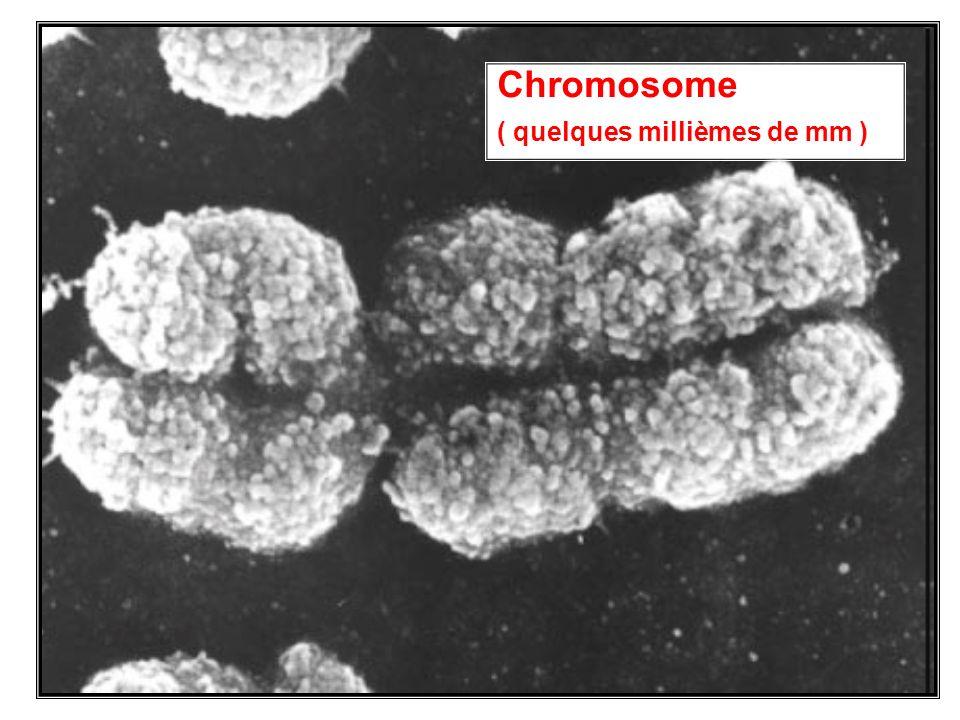 9 Chromosome ( quelques millièmes de mm )