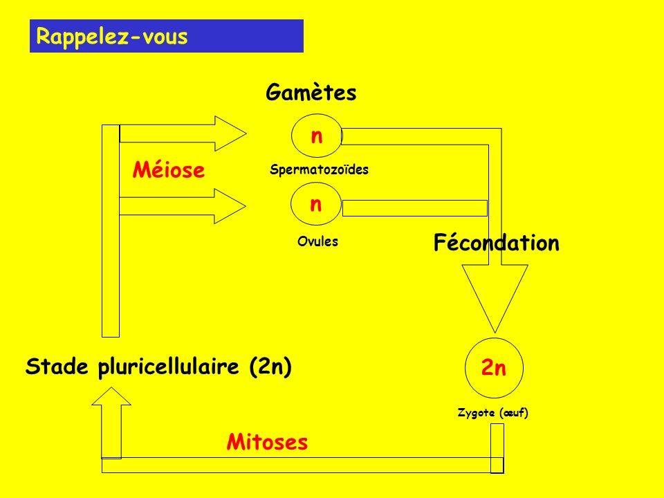 n n Gamètes Spermatozoïdes Ovules Fécondation 2n Zygote (œuf) Mitoses Stade pluricellulaire (2n) Méiose Rappelez-vous