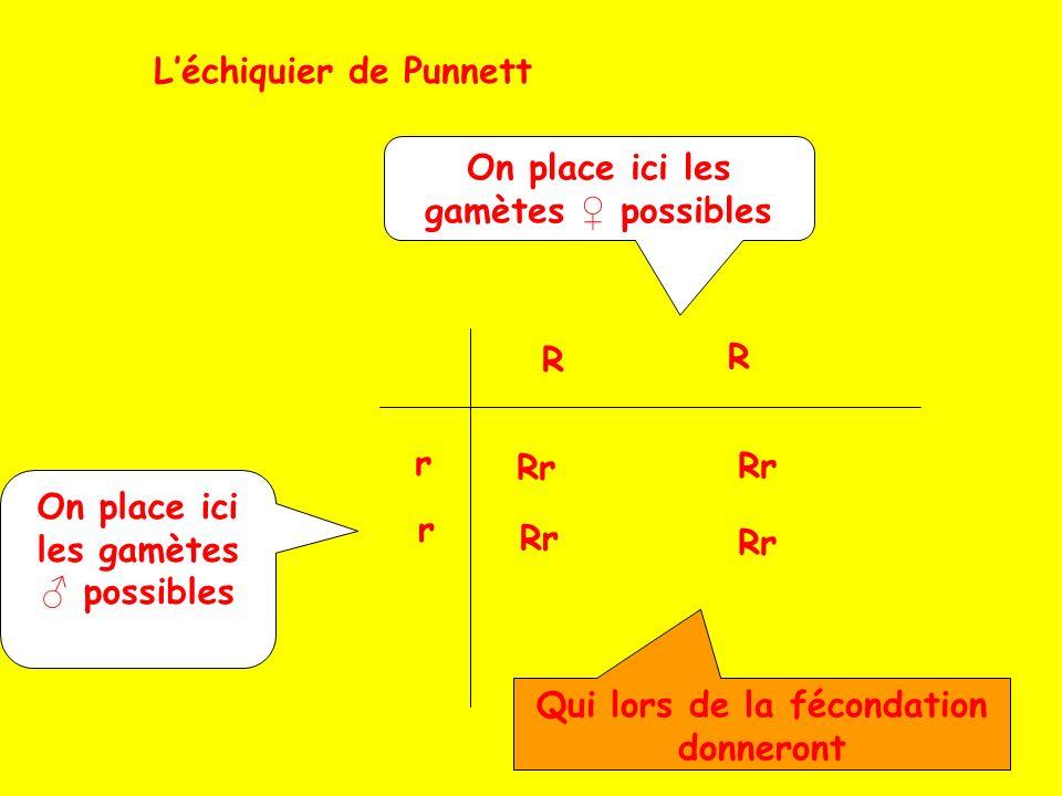 Léchiquier de Punnett On place ici les gamètes possibles R R r r Qui lors de la fécondation donneront Rr