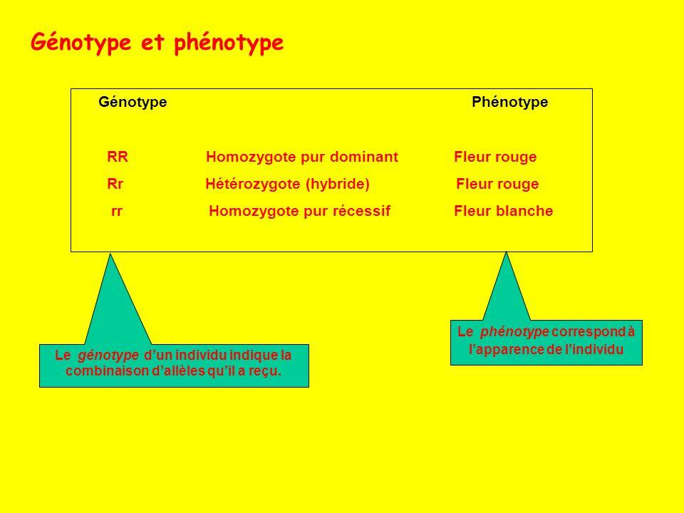 Génotype Phénotype RR Homozygote pur dominant Fleur rouge Rr Hétérozygote (hybride) Fleur rouge rr Homozygote pur récessif Fleur blanche Génotype et p