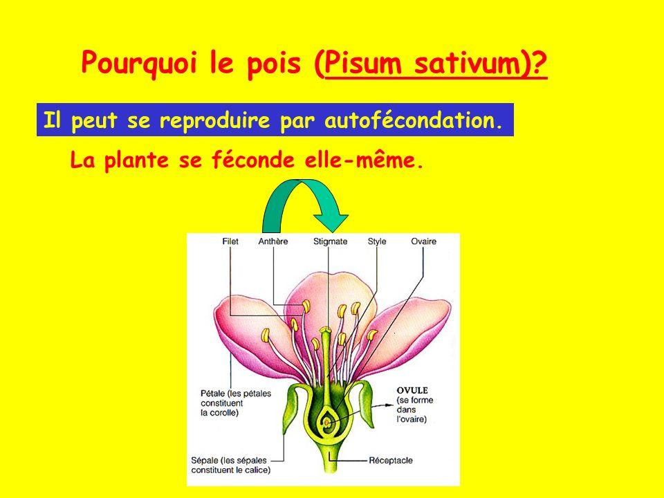Pourquoi le pois (Pisum sativum)? Il peut se reproduire par autofécondation. La plante se féconde elle-même.