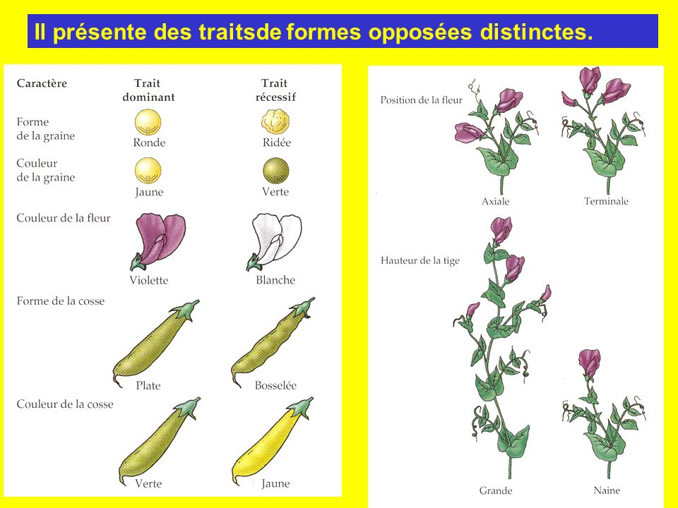 Première loi de Mendel ou loi de pureté des gamètes: chaque caractère est gouverné par un couple de gènes allèles.