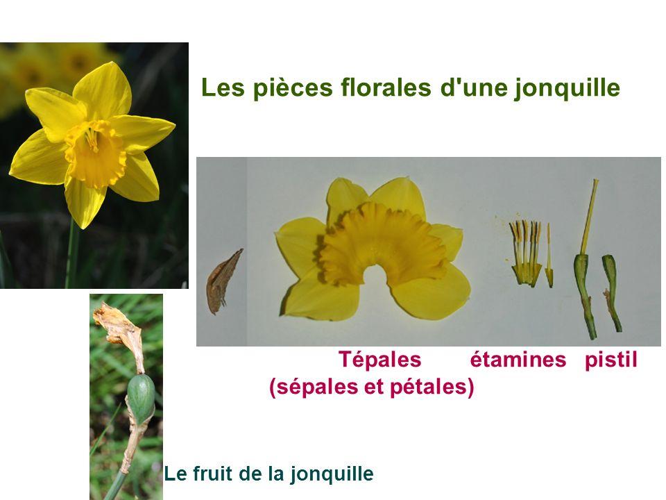 Les pièces florales d'une jonquille Tépales étamines pistil (sépales et pétales) Le fruit de la jonquille