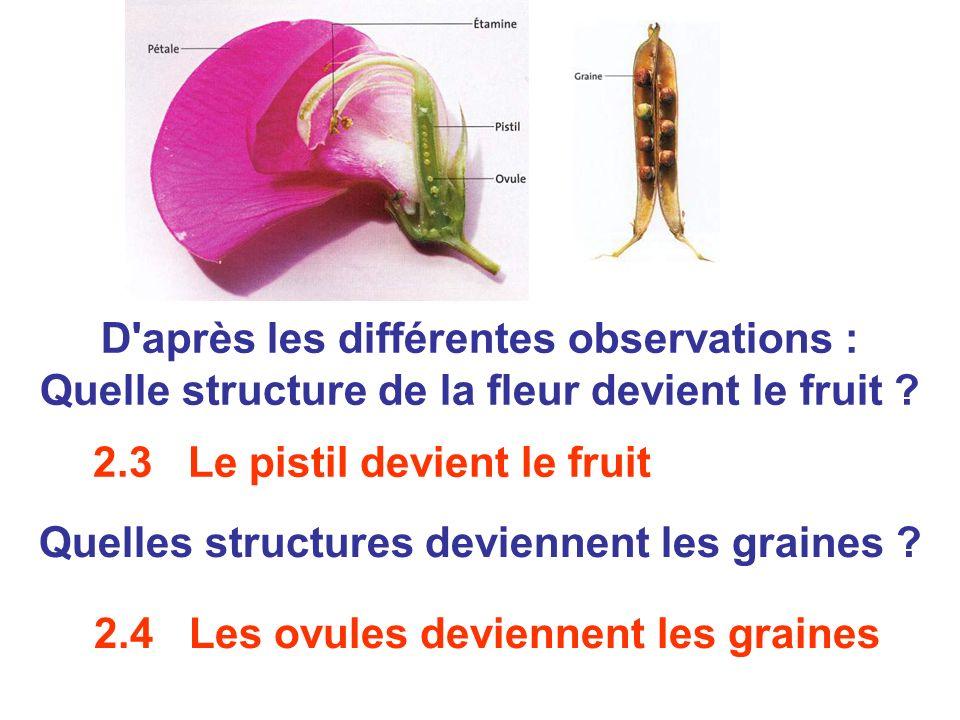 Quelles structures deviennent les graines ? D'après les différentes observations : Quelle structure de la fleur devient le fruit ? 2.3 Le pistil devie
