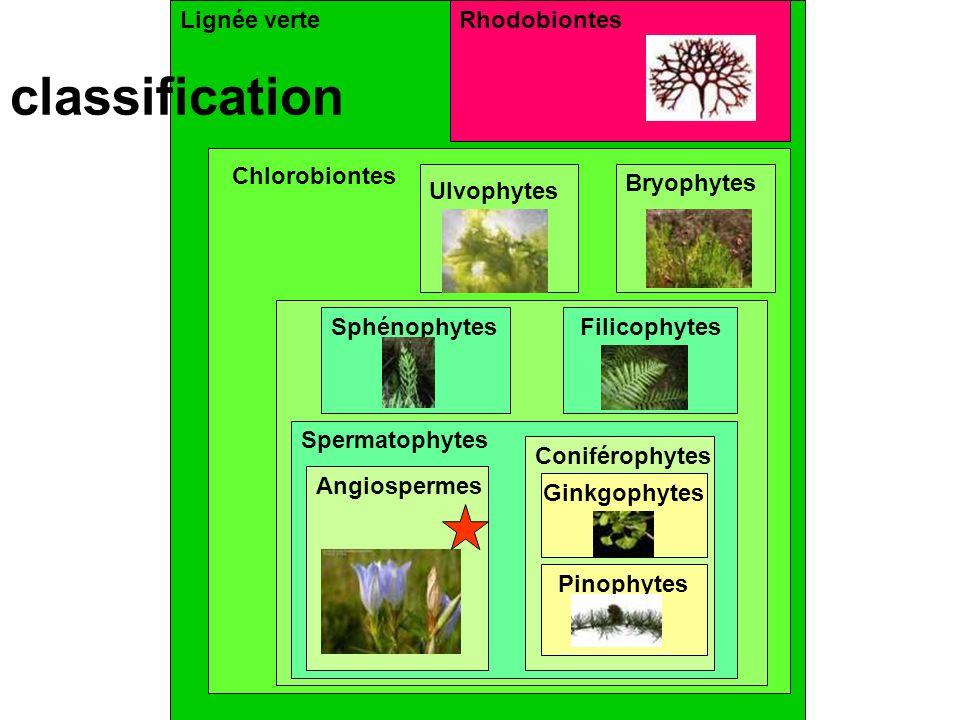 Lignée verteRhodobiontes Chlorobiontes Ulvophytes Bryophytes SphénophytesFilicophytes Spermatophytes Angiospermes Coniférophytes Ginkgophytes Pinophyt