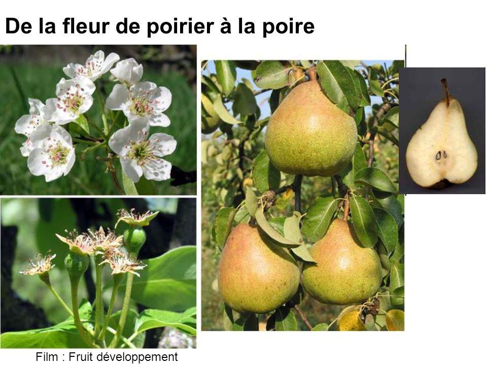 De la fleur de poirier à la poire Film : Fruit développement
