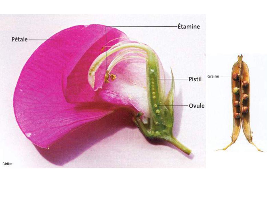 CLCT Elles protègent le bourgeon Ils indiquent aux insectes l emplacement du nectar Il contient les ovules Elles fabriquent le pollen