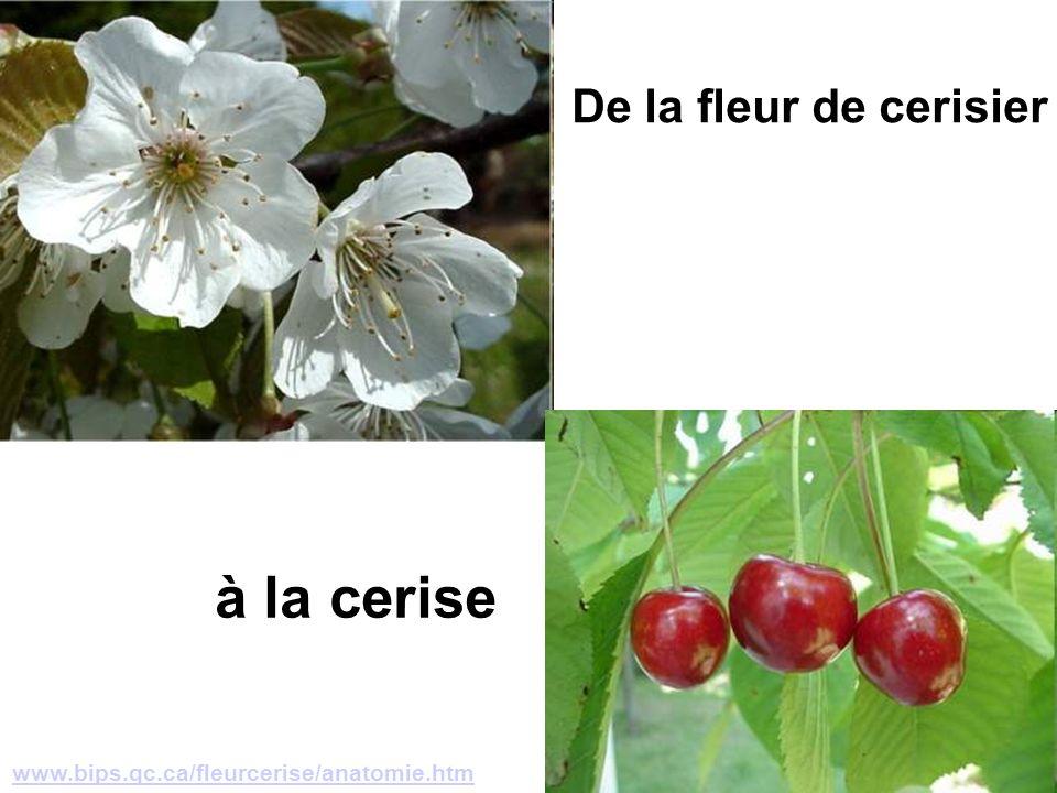 www.bips.qc.ca/fleurcerise/anatomie.htm De la fleur de cerisier à la cerise