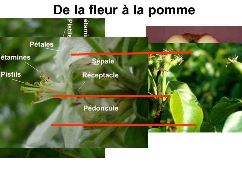 2.2 Les fruits contiennent des graines.Que se passe-t-il quand les fleurs fanent.
