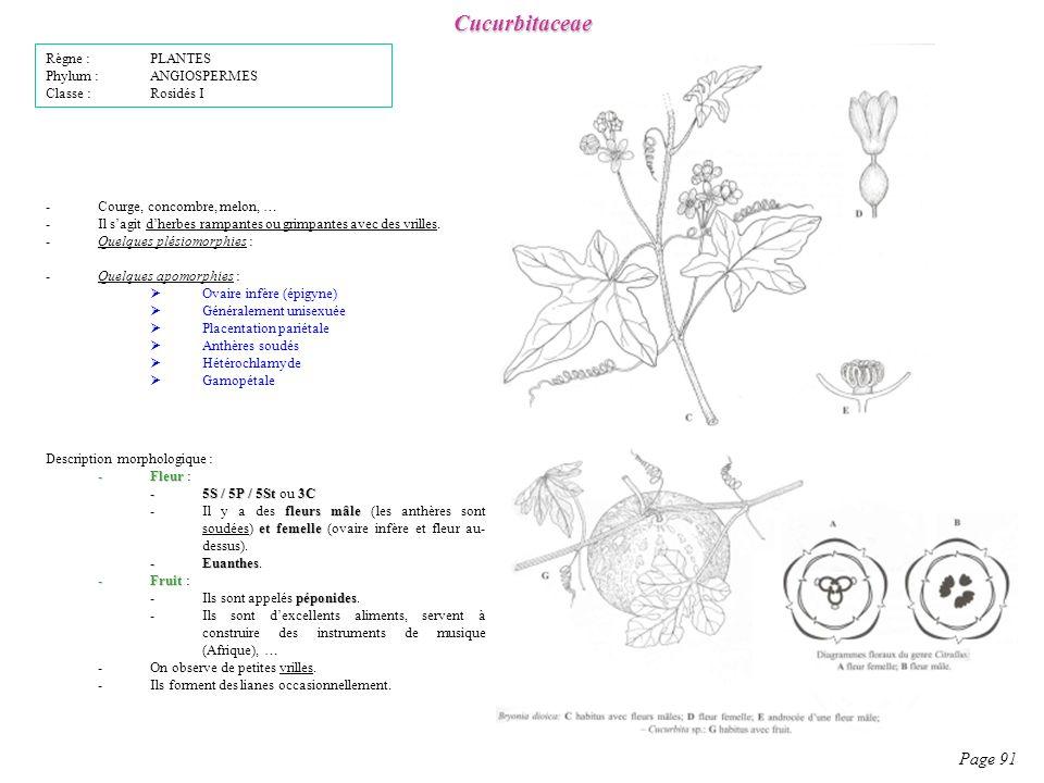Cucurbitaceae Page 91 Description morphologique : -Fleur -Fleur : -5S / 5P / 5St 3C -5S / 5P / 5St ou 3C fleurs mâle et femelle -Il y a des fleurs mâle (les anthères sont soudées) et femelle (ovaire infère et fleur au- dessus).