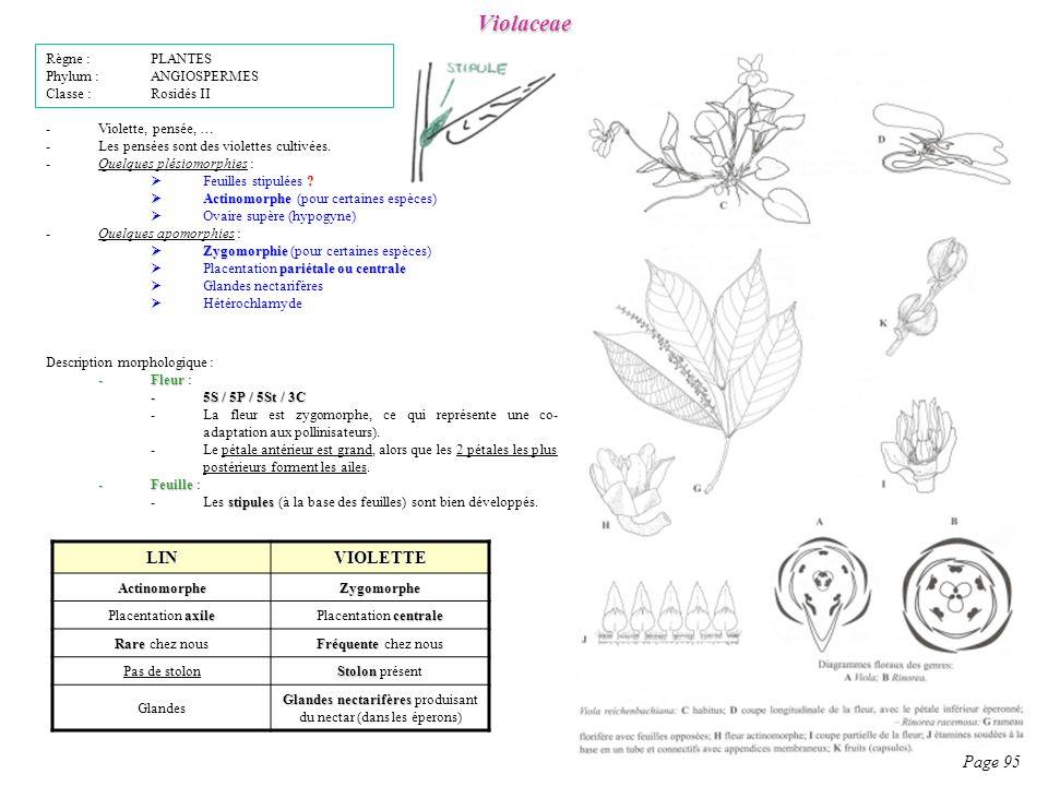 Violaceae Page 95 Description morphologique : -Fleur -Fleur : -5S / 5P / 5St / 3C -La fleur est zygomorphe, ce qui représente une co- adaptation aux pollinisateurs).