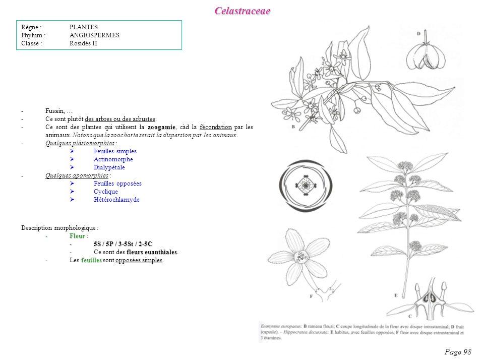 Celastraceae Page 98 Description morphologique : -Fleur -Fleur : -5S / 5P / 3-5St / 2-5C fleurs euanthiales -Ce sont des fleurs euanthiales.