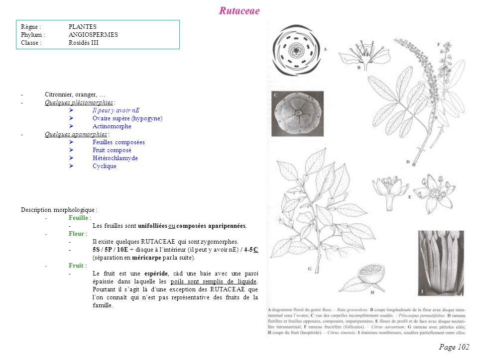 Rutaceae Page 102 Description morphologique : -Feuille -Feuille : unifolliées composées aparipennées -Les feuilles sont unifolliées ou composées aparipennées.