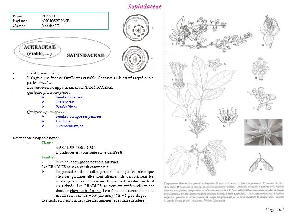 Sapindaceae Page 103 Description morphologique : -Fleur -Fleur : -4-5S / 4-5P / 8St / 2-3C chiffre 8 -Landrocée est construite sur le chiffre 8.