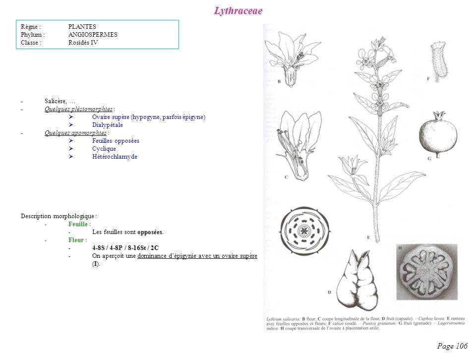 Lythraceae Page 106 Description morphologique : -Feuille -Feuille : opposées -Les feuilles sont opposées.