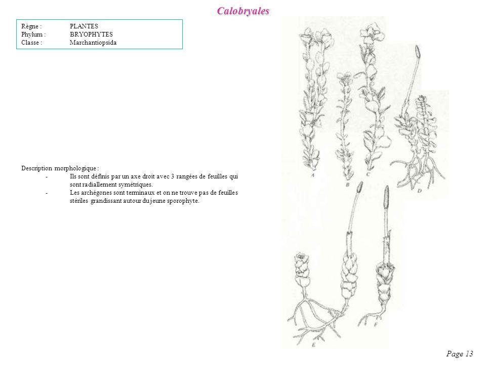 Calobryales Page 13 Description morphologique : -Ils sont définis par un axe droit avec 3 rangées de feuilles qui sont radiallement symétriques.