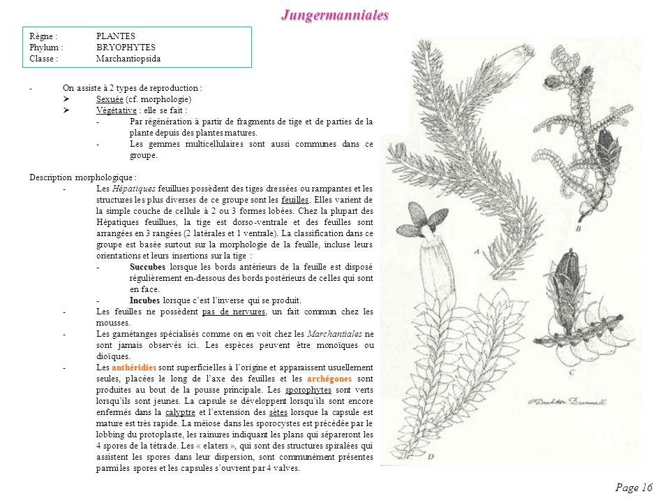 Jungermanniales Page 16 -On assiste à 2 types de reproduction : Sexuée (cf.