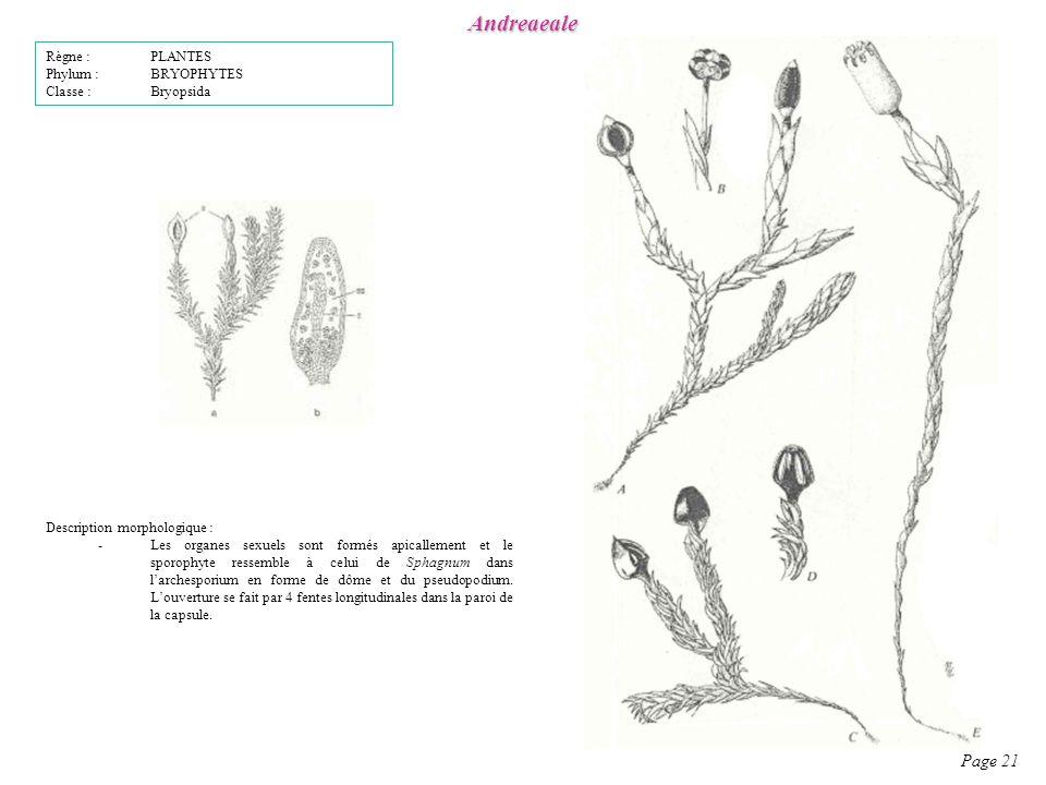 Andreaeale Page 21 Description morphologique : -Les organes sexuels sont formés apicallement et le sporophyte ressemble à celui de Sphagnum dans larchesporium en forme de dôme et du pseudopodium.