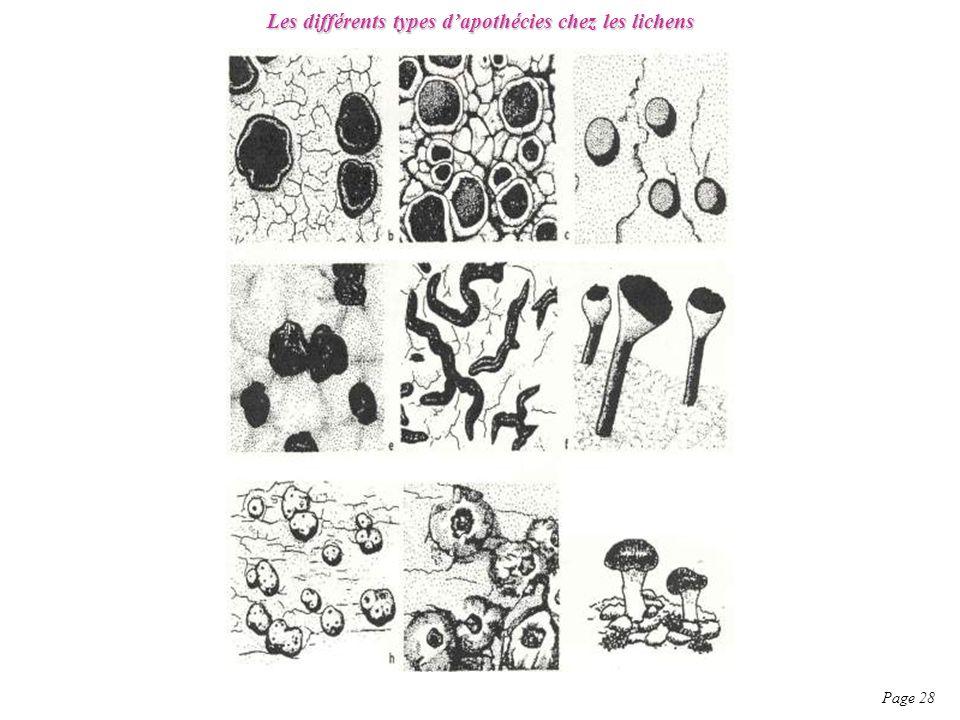 Les différents types dapothécies chez les lichens Page 28