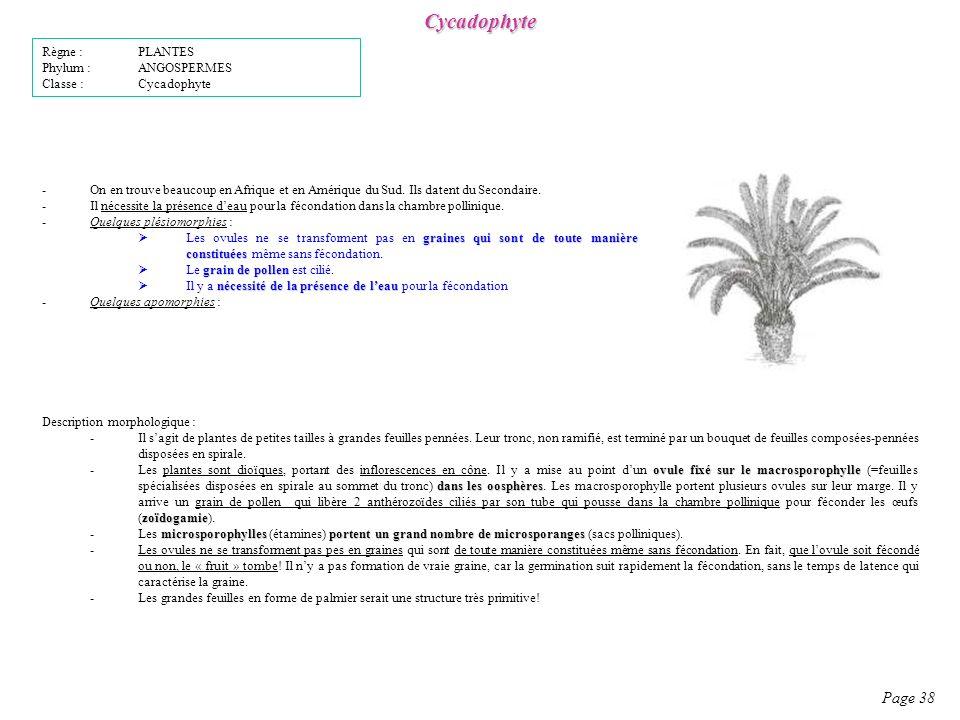 Cycadophyte -On en trouve beaucoup en Afrique et en Amérique du Sud.