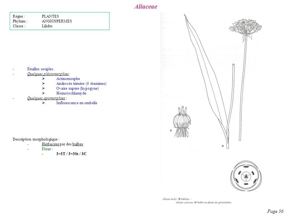 Aliaceae Page 56 Description morphologique : -Herbacées par des bulbes -Fleur -Fleur : -3+3T / 3+3St / 3C -Feuilles souples.