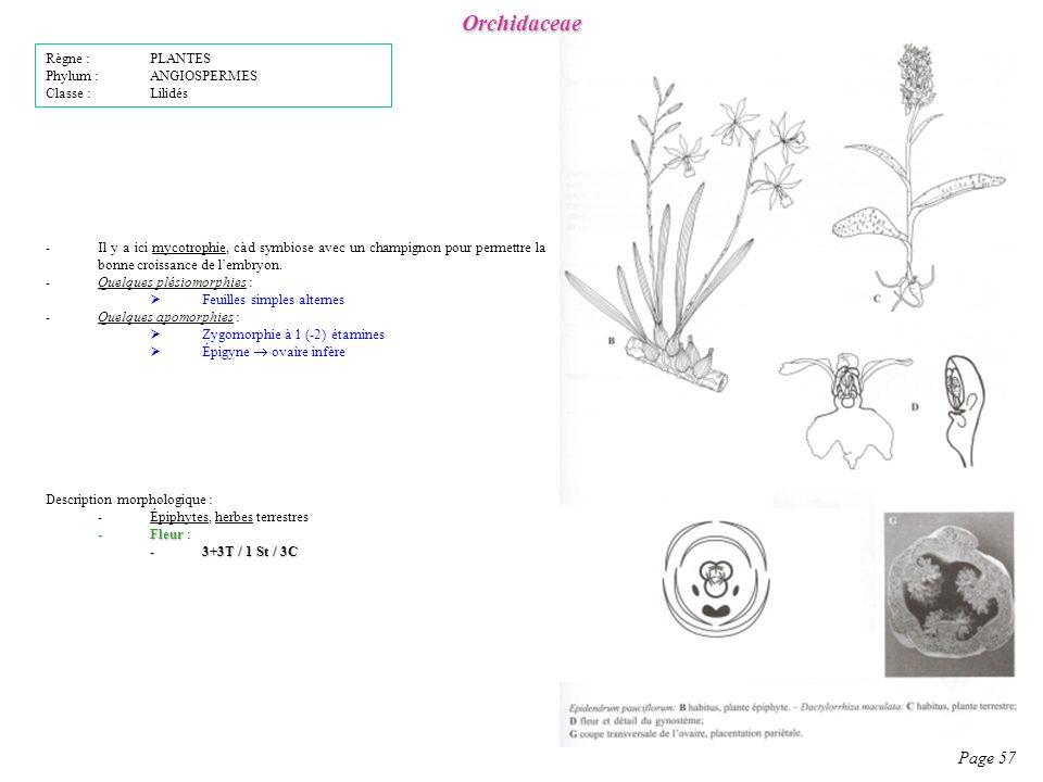Orchidaceae Page 57 Description morphologique : -Épiphytes, herbes terrestres -Fleur -Fleur : -3+3T / 1 St / 3C -Il y a ici mycotrophie, càd symbiose avec un champignon pour permettre la bonne croissance de lembryon.