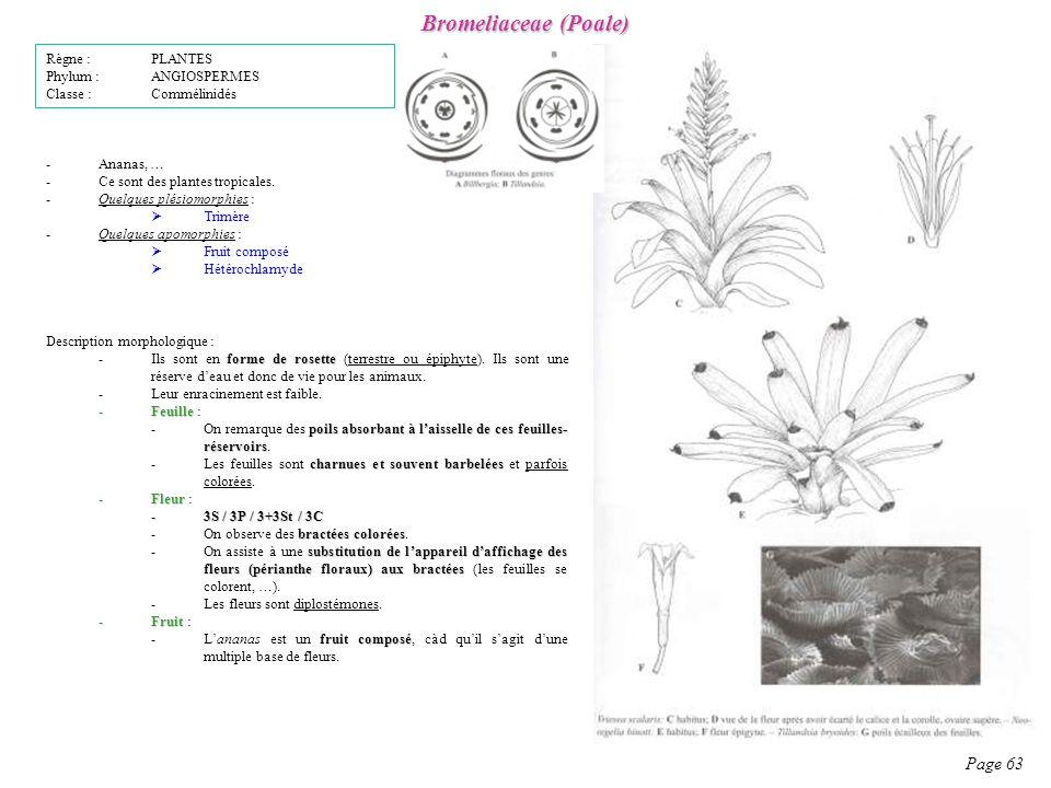 Bromeliaceae (Poale) Page 63 Description morphologique : forme de rosette -Ils sont en forme de rosette (terrestre ou épiphyte).