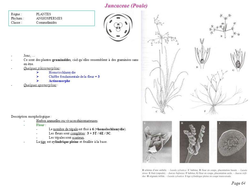 Juncaceae (Poale) Page 64 Description morphologique : -Herbes annuelles ou vivaces rhizomateuses.