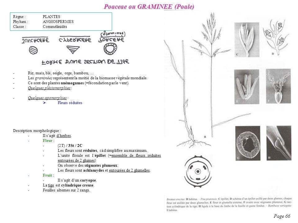 Poaceae ou GRAMINEE (Poale) Page 66 Description morphologique : -Il sagit dherbes.
