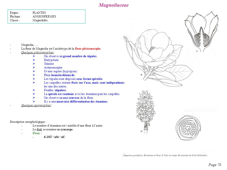 Magnoliaceae Page 70 Description morphologique : -Le nombre détamines est variable dune fleur à lautre.