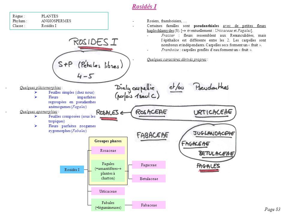 Rosidés I Page 83 Règne : PLANTES Phylum : ANGIOSPERMES Classe : Rosidés I -Quelques plésiomorphies : Feuilles simples (chez nous) Fleurs imparfaites regroupées en pseudanthes anémogames (Fagales) -Quelques apomorphies : Feuilles composées (sous les tropiques) Fleurs parfaites zoogames zygomorphes (Fabales) -Rosiers, framboisiers, … pseudanthiales -Certaines familles sont pseudanthiales avec de petites fleurs haplochlamydes (S).