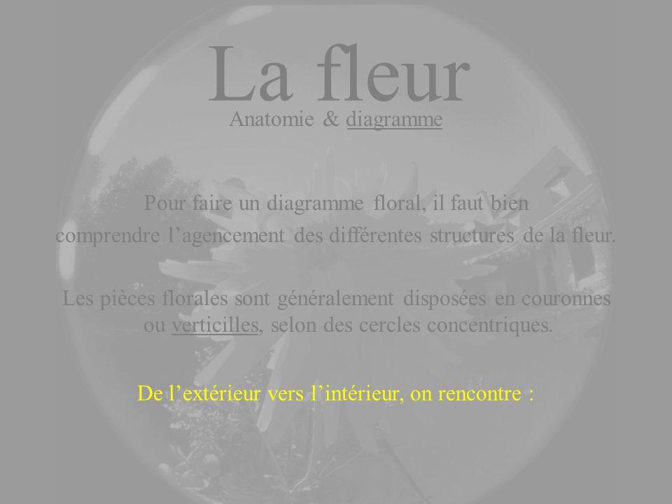 De lextérieur vers lintérieur, on rencontre : La fleur Anatomie & diagramme Les pièces florales sont généralement disposées en couronnes ou verticille