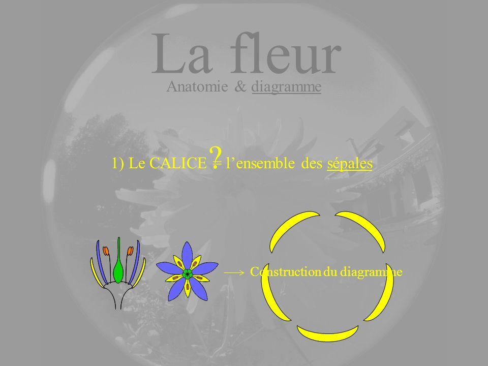 La fleur 1) Le CALICE ? = lensemble des sépales Anatomie & diagramme Construction du diagramme