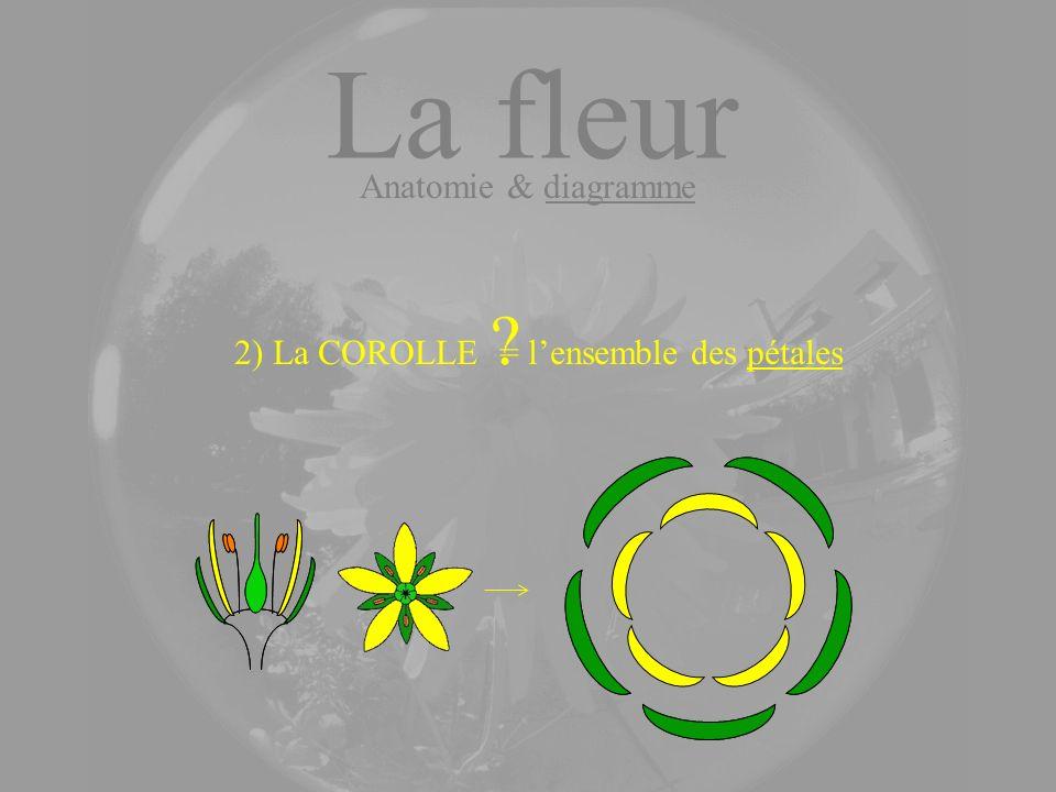 La fleur Anatomie & diagramme 2) La COROLLE ? = lensemble des pétales
