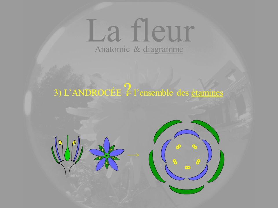 La fleur Anatomie & diagramme 3) LANDROCÉE ? = lensemble des étamines