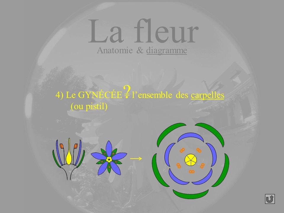 La fleur Anatomie & diagramme 4) Le GYNÉCÉE (ou pistil) ? = lensemble des carpelles
