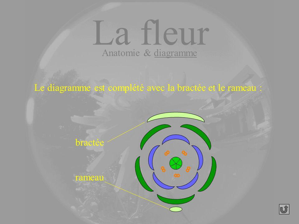 Le diagramme est complété avec la bractée et le rameau : bractée rameau La fleur Anatomie & diagramme