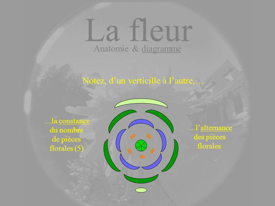 …la constance du nombre de pièces florales (5) …lalternance des pièces florales Notez, dun verticille à lautre,… La fleur Anatomie & diagramme