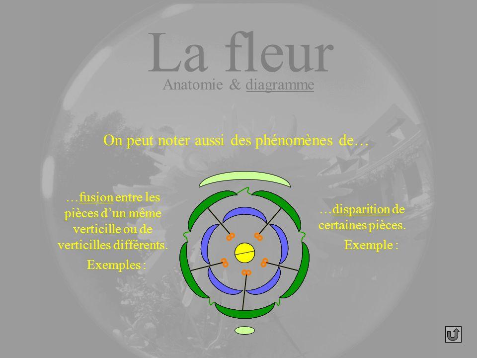 On peut noter aussi des phénomènes de… …fusion entre les pièces dun même verticille ou de verticilles différents. La fleur Anatomie & diagramme Exempl