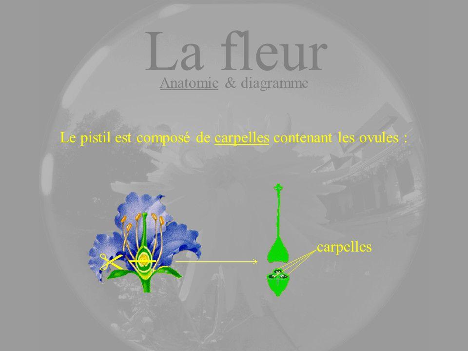 Le pistil est composé de carpelles contenant les ovules : carpelles La fleur Anatomie & diagramme