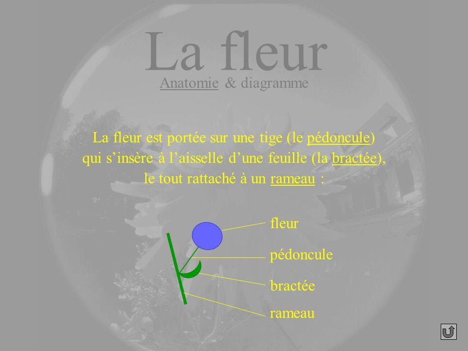 fleur pédoncule bractée La fleur est portée sur une tige (le pédoncule) qui sinsère à laisselle dune feuille (la bractée), le tout rattaché à un ramea