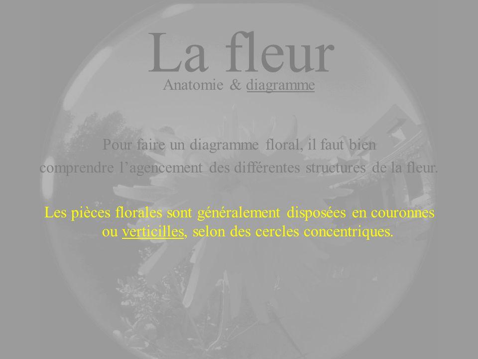 La fleur Anatomie & diagramme Les pièces florales sont généralement disposées en couronnes ou verticilles, selon des cercles concentriques. Pour faire