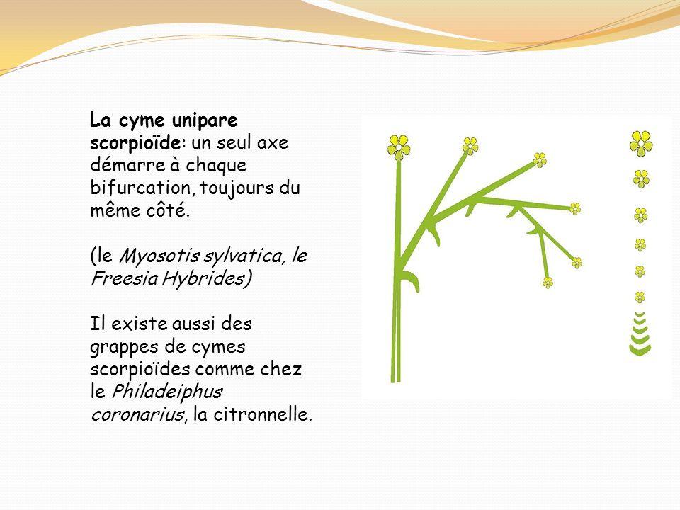 La cyme unipare scorpioïde: un seul axe démarre à chaque bifurcation, toujours du même côté. (le Myosotis sylvatica, le Freesia Hybrides) Il existe au
