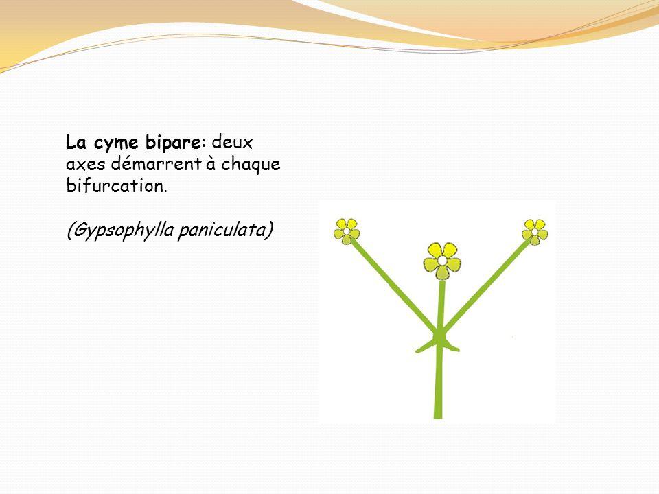 La cyme bipare: deux axes démarrent à chaque bifurcation. (Gypsophylla paniculata)