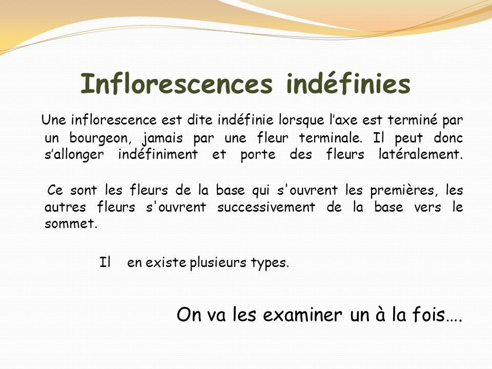 Inflorescences indéfinies Une inflorescence est dite indéfinie lorsque laxe est terminé par un bourgeon, jamais par une fleur terminale. Il peut donc