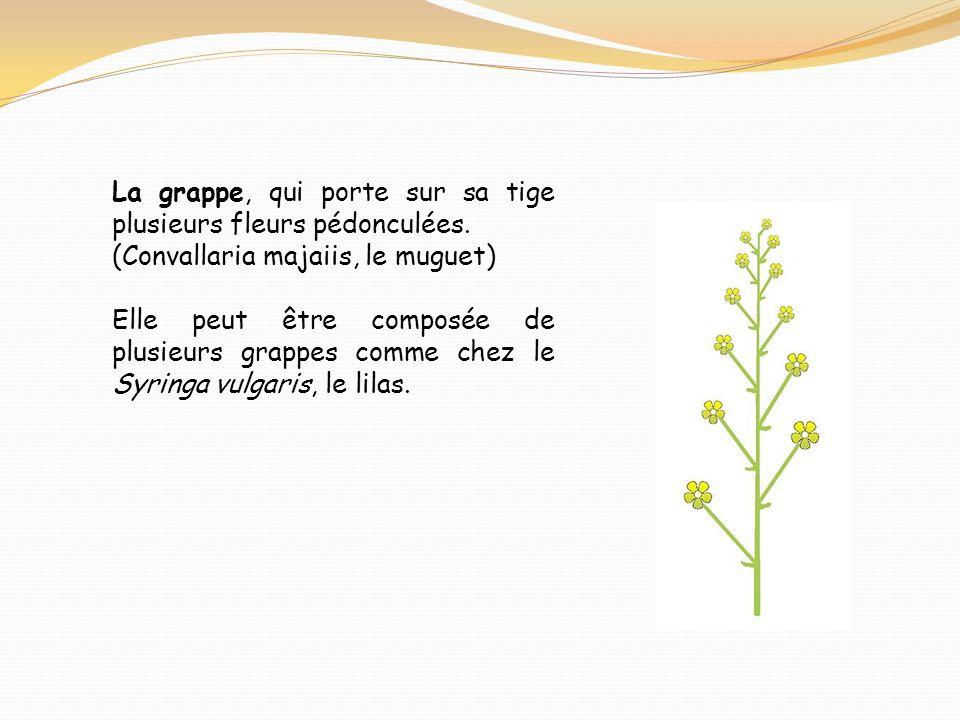 La grappe, qui porte sur sa tige plusieurs fleurs pédonculées. (Convallaria majaiis, le muguet) Elle peut être composée de plusieurs grappes comme che