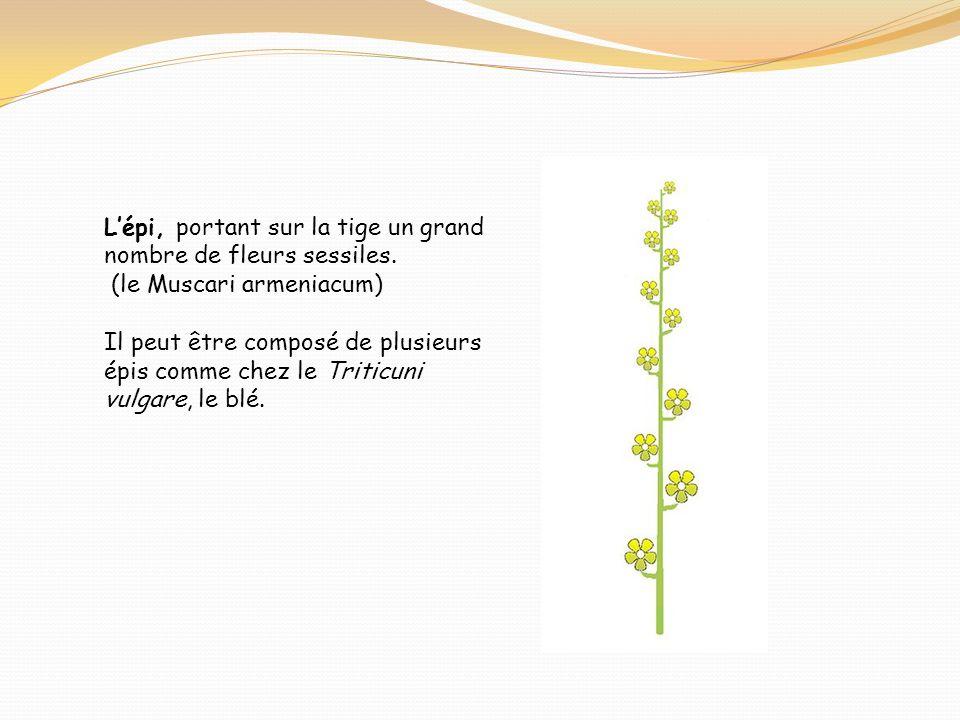 Lépi, portant sur la tige un grand nombre de fleurs sessiles. (le Muscari armeniacum) Il peut être composé de plusieurs épis comme chez le Triticuni v