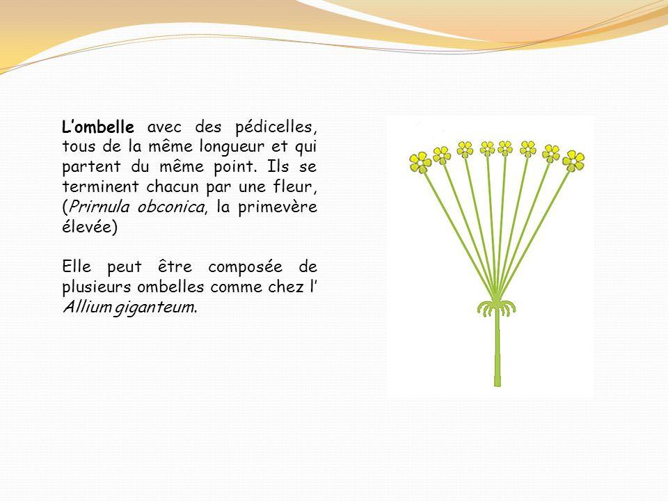 Lombelle avec des pédicelles, tous de la même longueur et qui partent du même point. Ils se terminent chacun par une fleur, (Prirnula obconica, la pri